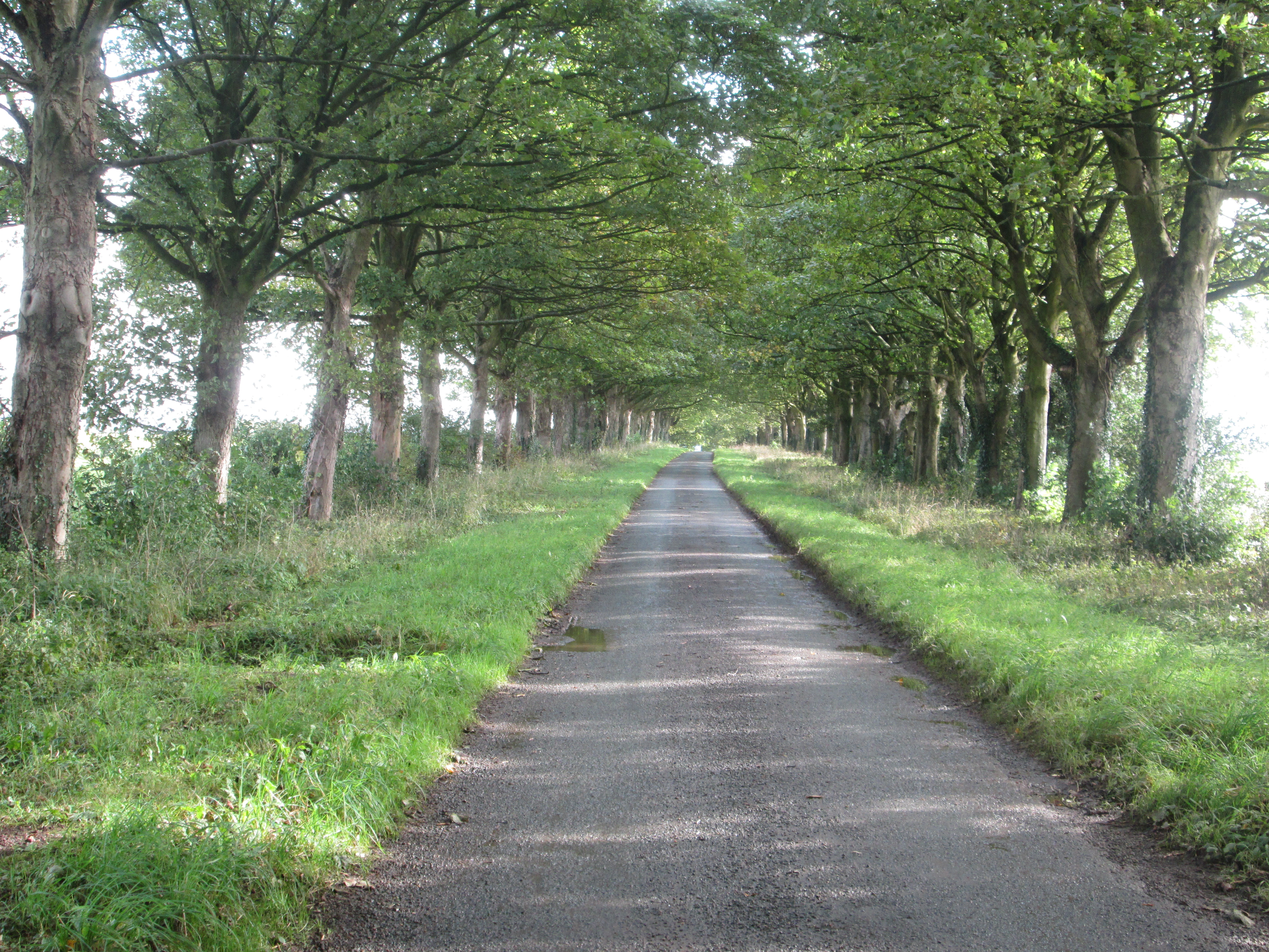 Tree lined avenue in North Yorkshire