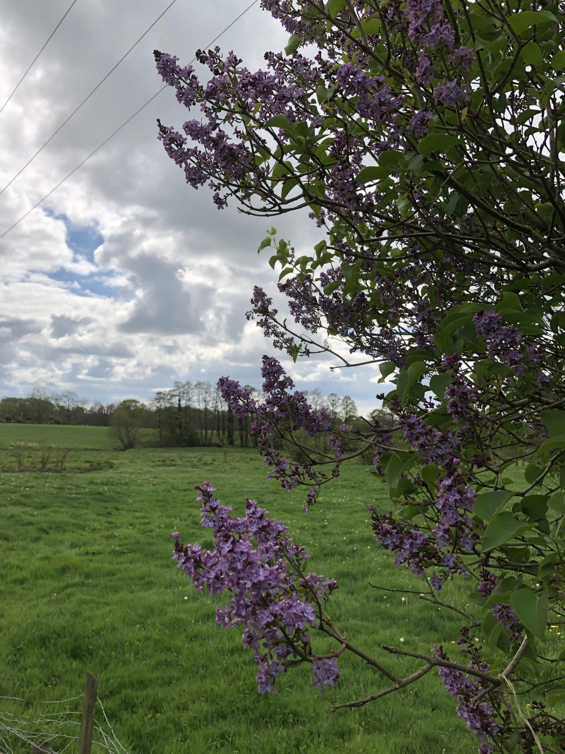 staffordshire lilac