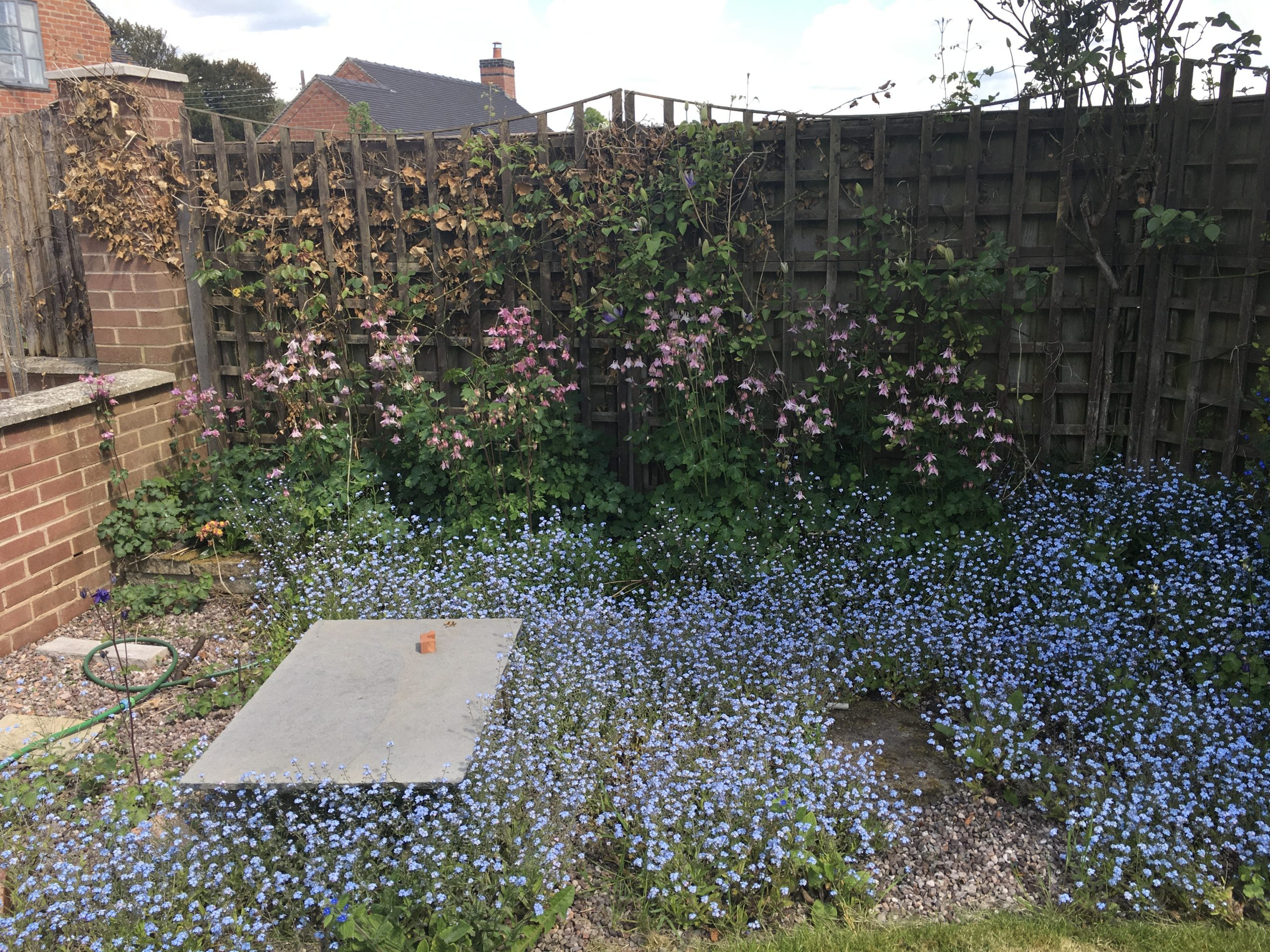 Carpet of forget-me-not