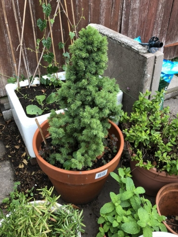 fir tree from the supermarket