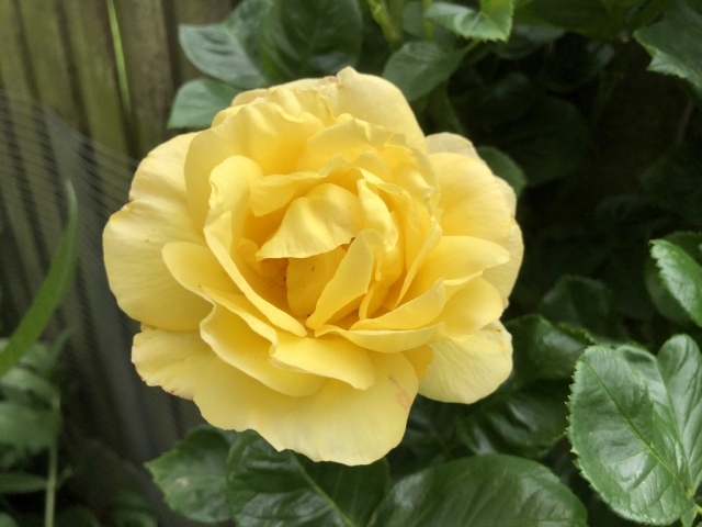 Pretty yellow rambling rose