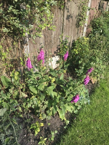 Digitalis or foxglove