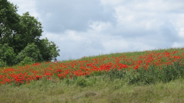 Poppies adding a splash of colour to the green countryside