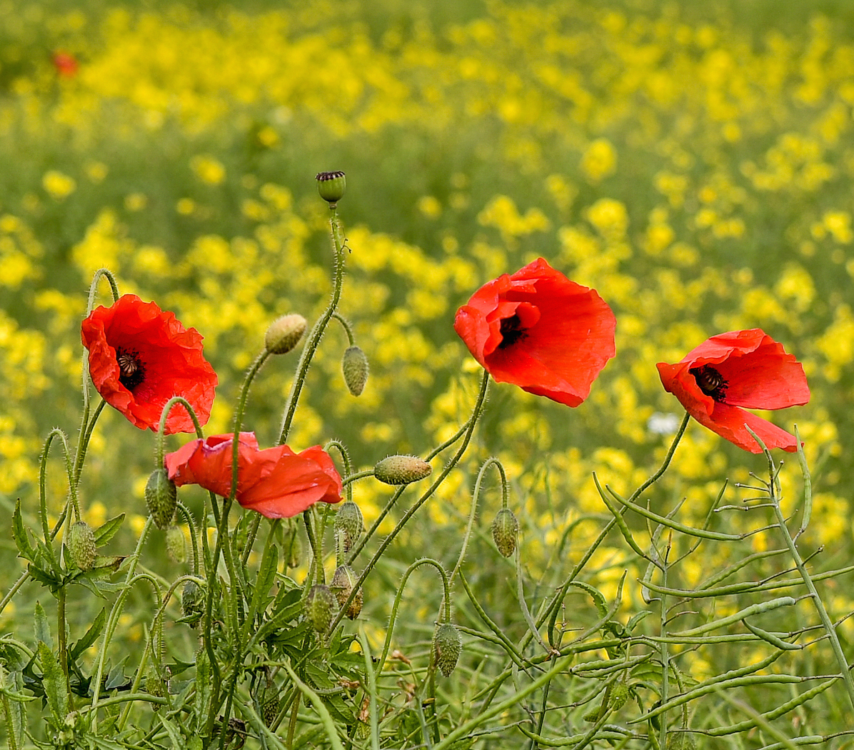 The chalkland seems ideal for poppies